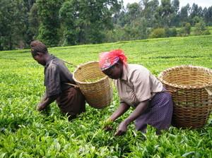お茶を収穫する農家の人々(日本ケニア交友会提供)