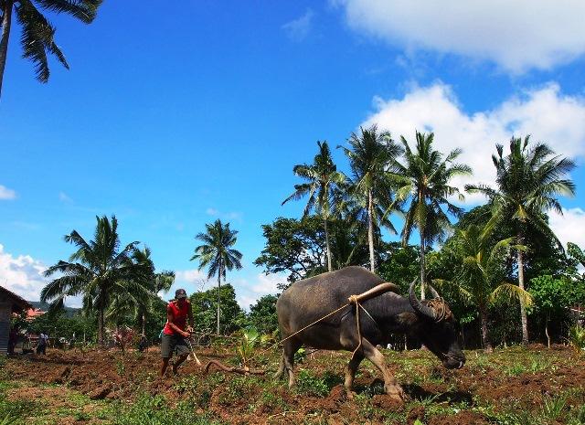 カラバオ(水牛)でデモファームとなる農地を耕す農民