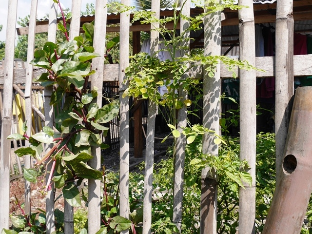 モリンガの木(写真中央)