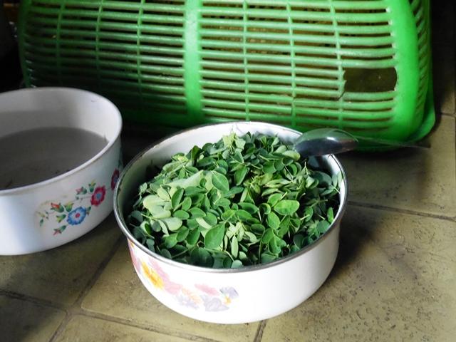 摘んだモリンガの葉っぱ。これを鍋に投入して火にかければ、スープができあがる