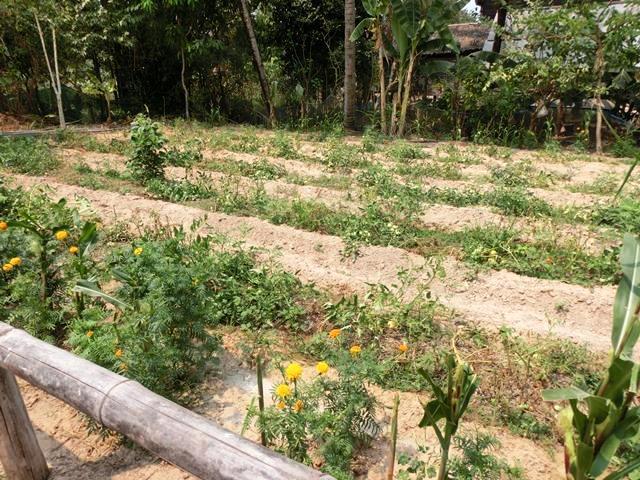トマト菜園。2月は乾季でトマトがよくとれる季節だという
