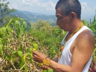 チョウセンアサガオを手に取り説明するエンベラ・チャミ族のシャーマン、フロレンティーノ・タマニス・タスコンさん