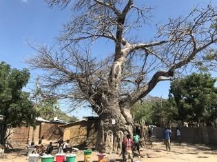 マラウイに自生するバオバブの木(MPJ提供)
