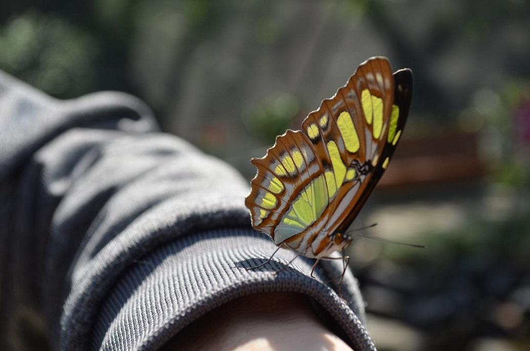 ハルディン・ボタニコの中にあるチョウの研究施設には現在10種類350羽のチョウがいる