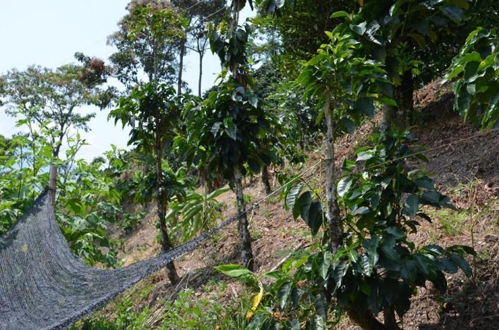 カットバックしたばかりのコーヒーの木。十分に育ち、収穫量が増えるのはこれからだ