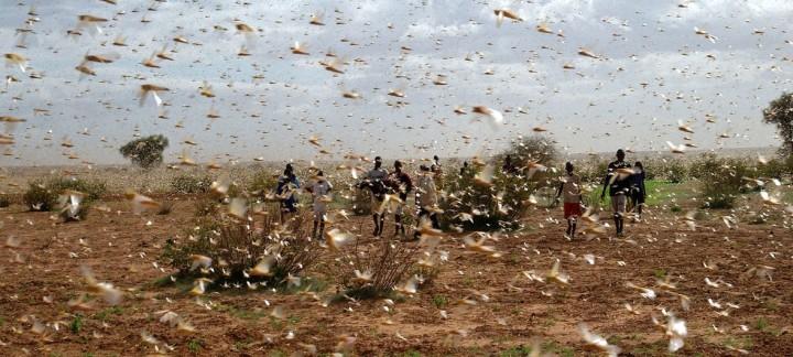 サバクバッタの群れ(FAOのツイッターから引用)。穀物を一瞬にして食い尽くす