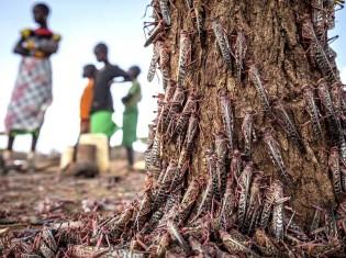 木にかじりつくサバクバッタの大群(FAOのツイッターから引用)