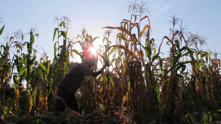 キリヤンドンゴ難民居住地でトウモロコシを収穫する南スーダン難民(2014年12月撮影)