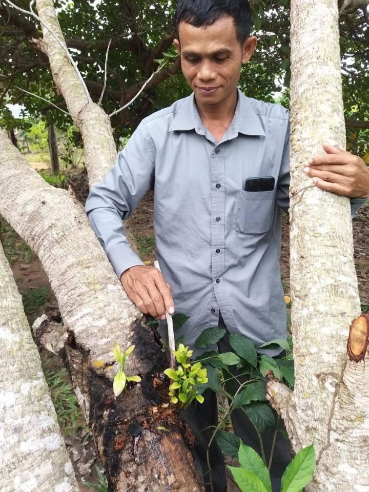 プレアビヒア州でIVYが提供するカシューナッツの技術研修に参加し、自然農薬を木に塗り付けるカンボジア人(写真提供:IVY)