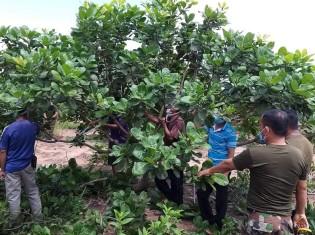 カシューナッツの木を剪定するカンボジアの農家の人たち。カンボジアで最も貧しいとされるプレアビヒア州でIVYが提供する技術研修で(写真提供:IVY)