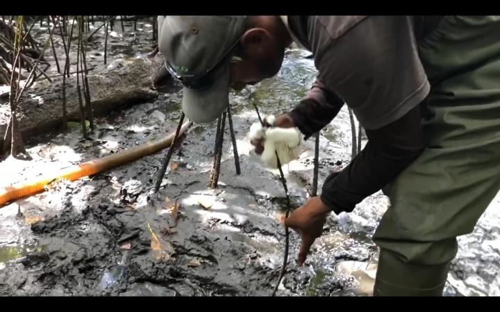 現地NGOのスタッフがマングローブ林で作業するようす。根についた重油を拭きとる