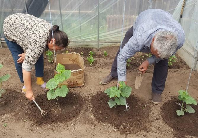 TCDCの事務所の隣に建てたモデルのビニールハウス内で、ゴトフさんとヒシゲさんがキュウリを育てるようす。シャーマニズム信仰で神が宿るとされるので、土は掘らずに平坦なまま。手作りの堆肥を苗の根元にかけていく